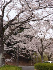 桜山のお花見